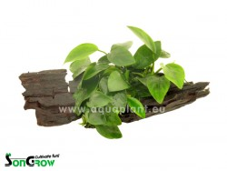 Anubias on wood S, M, L