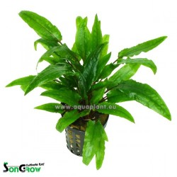 Cryptocoryne green crisped leaves